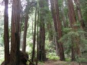 Giant Redwood Sequoia Trees