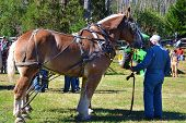 Horse Pulling at the Blue Ridge Folklife Festival