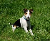 picture of jack russell terrier  - adorable jack russell terrier posing for the camera on a lush green lawn - JPG