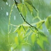 Virginia Creeper In Rain