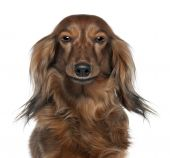 Close up Of A Dachshund's Head  Looking At The Camera 7 Years