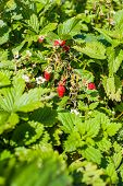 Strawberry Bush With Berries And Flowers