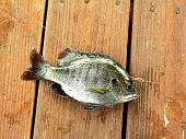image of bluegill  - picture of bluegill fish caught during a day of fishing - JPG