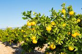 pic of valencia-orange  - Trees with orange typical in the province of Valencia - JPG