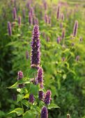 foto of hyssop  - Blooming flower  - JPG