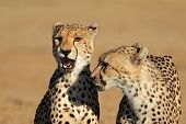 Portrait of two cheetahs (Acinonyx jubatus), Kalahari desert, South Africa