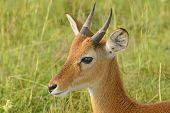 Oribi On The Plains Of Africa