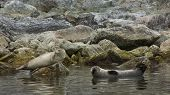 Harbor Seals in Svalbard