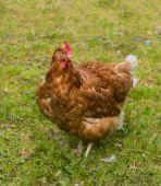 Free Range Chicken (standing)