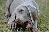 Weimaraner Pet Puppy
