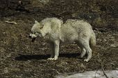 picture of horrific  - An Arctic wolf yawns waiting for food - JPG