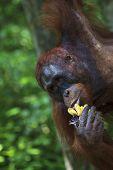 Orangutan eating bananas