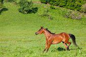 beautiful bay Arab horse