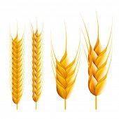 Wheat. Detailed vector illustration.