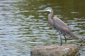 A Pale Western Reef Heron Standing In Shallow Water
