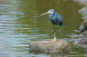A Western Reef Heron Standing On A Rock Surrounded By Water