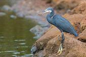 A Western Reef Heron Standing On Rocks Above The Tide Line