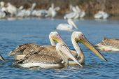 Pink-backed Pelican Floating Alongside Two Great White Pelicans