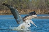 Pink-backed Pelican Landing For A Fishing Strike