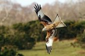 stock photo of kites  - Red Kite - JPG