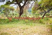 stock photo of deer family  - Impalas family in the shade of a tree - JPG