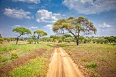 Huge African trees in Tanzania, Africa.