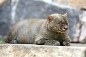 Photo Of The Jaguarundi