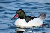 Male common merganser or goosander
