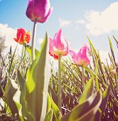 a wide angle shot of pretty tulips (shallow depth of field) with a soft vintage filter effect