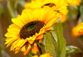 foto of sunflower  - Close up of a sunflower with others sunflowers in background - JPG