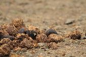 stock photo of poo  - horse poo as brown natural agricultural background