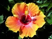 Pink-Yellow-Orange Hibiscus Flower