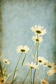 picture of chamomile  - Chamomiles against blue sky - JPG