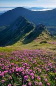 Sunny morning. Glade rhododendron flowers in the mountains. Flowering meadow in the sunlight. Carpat