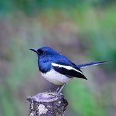 Male Oriental Magpie Robin