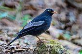 Male Grey-winged Blackbird