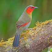 Scarlet-faced Liocichla