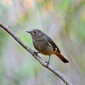 Female Blue-fronted Redstart