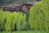 Willow trees in front of red rocks