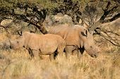 White Rhino Mother And Calf