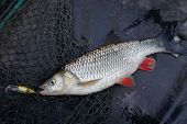 Chub caught on plastic lure lying in fishing net
