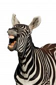 Laughing Zebra - Isolated