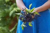 Close Up Of Woman Holding Bunch Of Elderberries