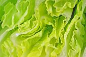 foto of romaine lettuce  - A close view of the crinkled leaves of romaine lettuce - JPG