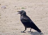Black Jackdaw