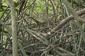 Tangled Mangroves