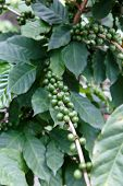 Green Coffee Beans Growing On The Branch In Nicaragua