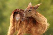Female Fallow Deer Scratching