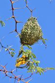 Southern Masked Weaver - African Wild Bird Background - Building a Home