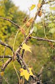 Autumn Leaves On Old Dead Branch